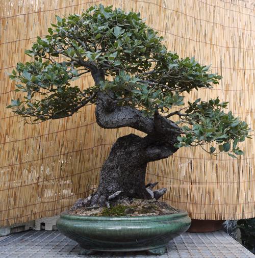 bonsai toscana tampucci