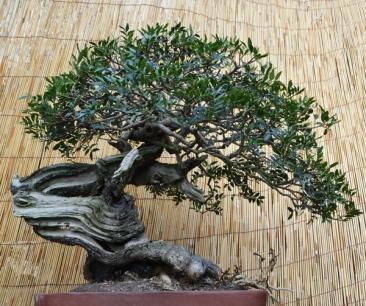 claudio tampucci bonsai toscana